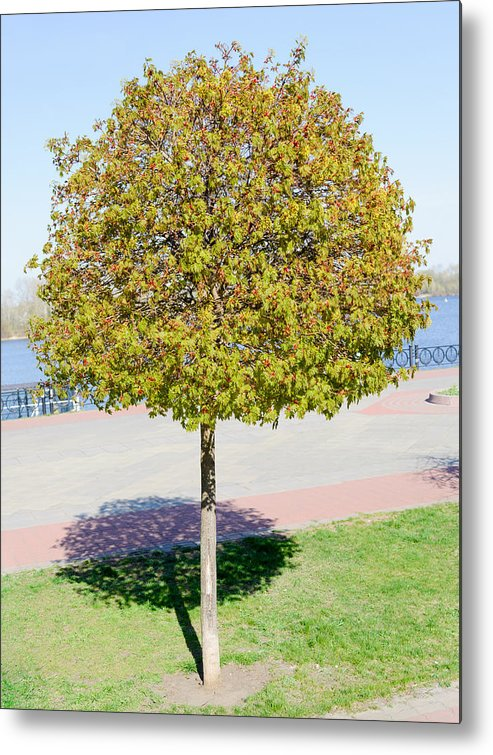 Blossom Metal Print featuring the photograph Young Maple Tree by Alain De Maximy