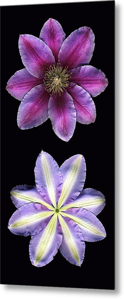 Scanography Metal Print featuring the photograph Clemtis Front And Back by Deborah J Humphries