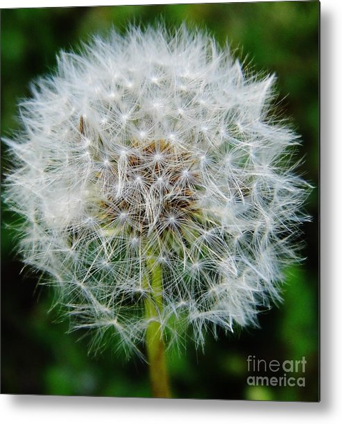 Dandelion Metal Print featuring the photograph Puff The Dandelion by D Hackett
