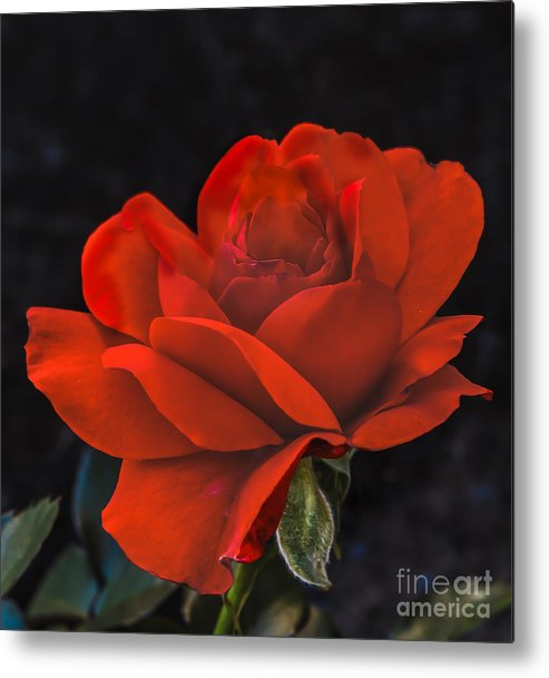 Perennial Metal Print featuring the photograph Valentine Rose by Robert Bales