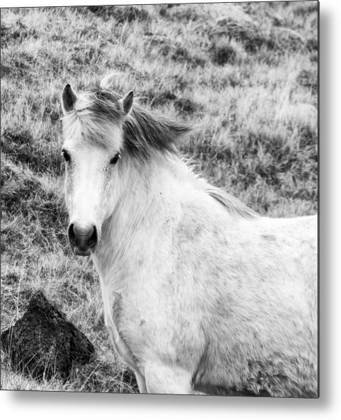 2013 Metal Print featuring the photograph White Horse by Nick Bellistri