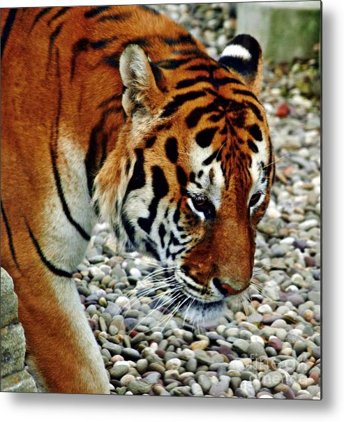 Tiger Metal Print featuring the photograph Lonely Tiger by Timothy Coover