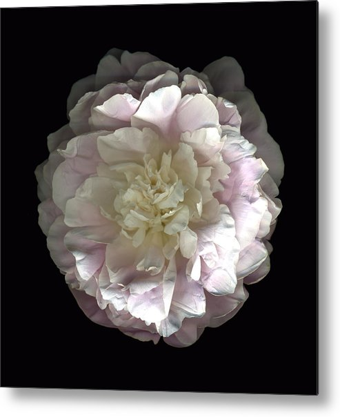 Scanography Metal Print featuring the photograph Blush Peony Open by Deborah J Humphries