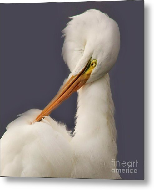 Great White Egret Metal Print featuring the photograph Great White Egret Posing by Paulette Thomas
