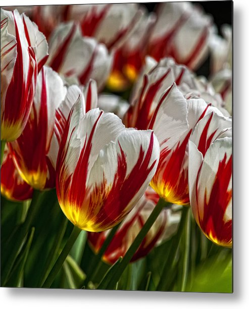 Tulip Metal Print featuring the photograph Red White And Yellow Tulips by Robert Ullmann