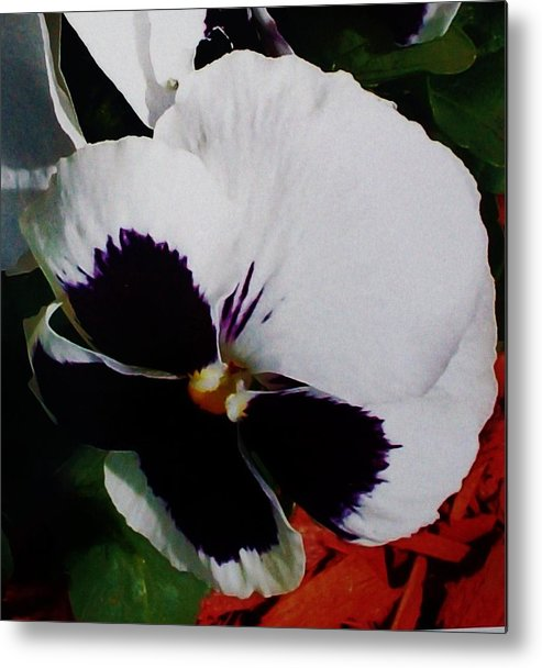 Photo Metal Print featuring the photograph This Is A Purple Pansy by Marsha Heiken