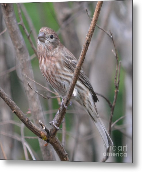 Female House Finch Prints Metal Print featuring the photograph Female House Finch by Ruth Housley