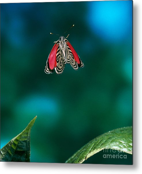 Animal Metal Print featuring the photograph 89 Butterfly In Flight by Stephen Dalton