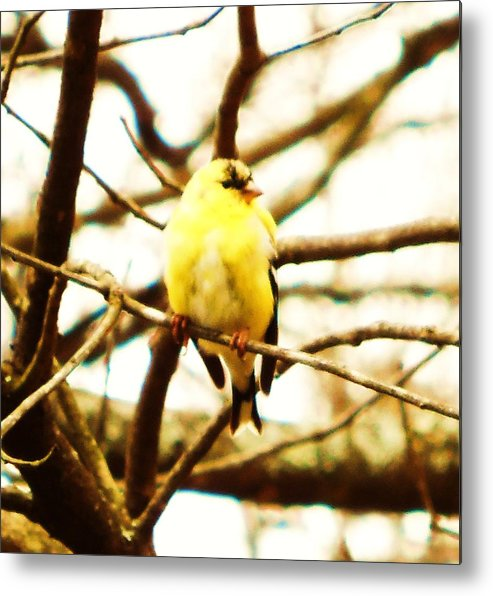 Goldfinch Metal Print featuring the photograph American Goldfinch by Stacey Pollio