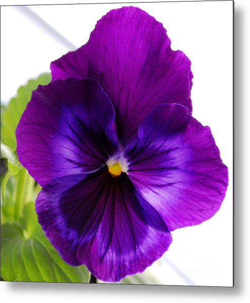 Pansy Metal Print featuring the photograph Deep Purple Pansy by Nancy Mueller