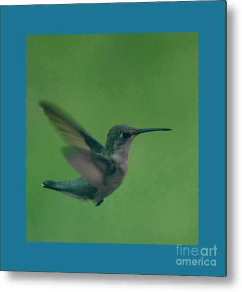 Hummingbird Photographs Metal Print featuring the photograph Hungry Little Hummingbird 4 by Barb Dalton