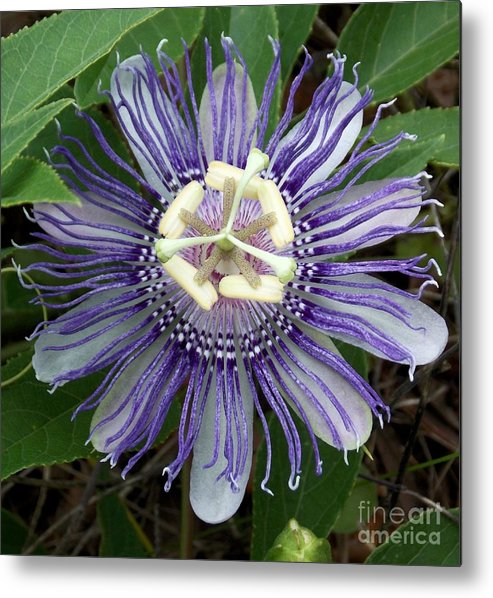 Passion Flower Metal Print featuring the photograph Pristine Passion Flower by Annette Allman
