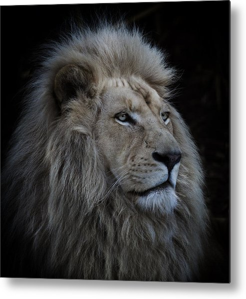 White-lion Metal Print featuring the photograph Proud Lion by Louise Wolbers