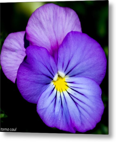 Flowers Metal Print featuring the photograph Pansy Face by Toma Caul