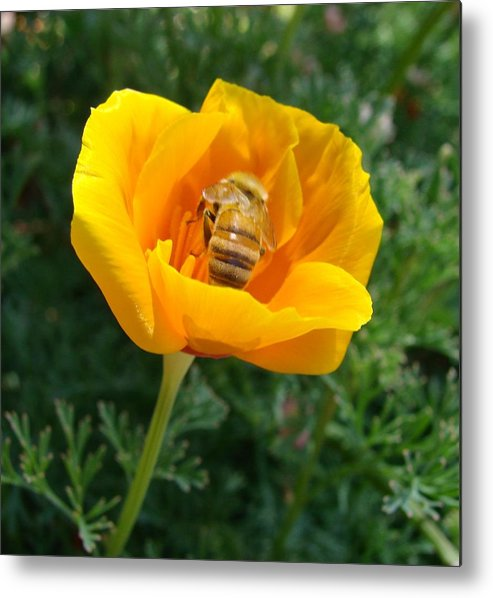 Bee Metal Print featuring the photograph California Poppy And Honey Bee by Liz Vernand