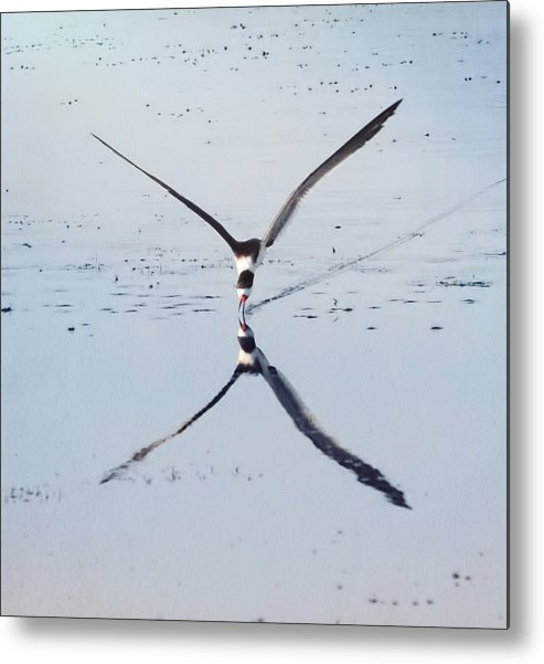 Skimmer Metal Print featuring the photograph Skimmer On Approach by Carl Clay