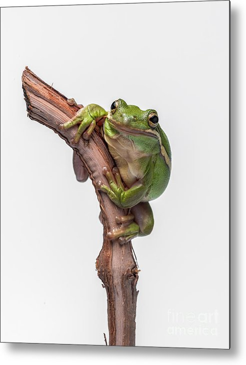 Tree Frog Metal Print featuring the photograph American Green Tree Frog by Yasar Ugurlu