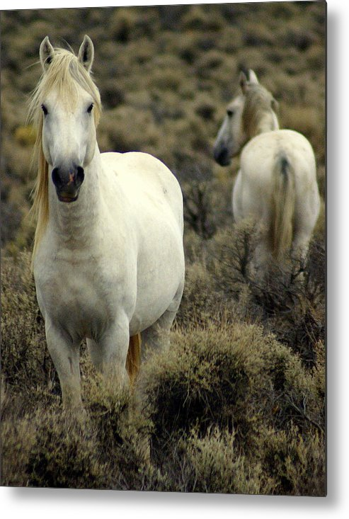 Wild Horses Metal Print featuring the photograph Wild Stallion by Marty Koch
