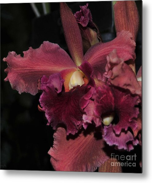 Orchid Metal Print featuring the photograph Brassolaeliocattleya Helen Huntington Chevy Chase by Terri Winkler