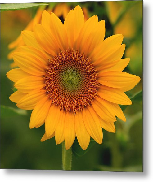 Sunflowers Metal Print featuring the photograph Sunflower by Amy Warr