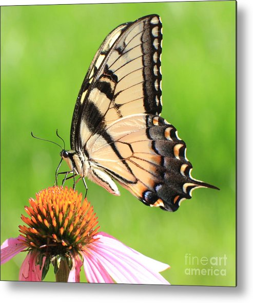Swallowtail Butterfly Metal Print featuring the photograph Tiger Swallowtail Butterfly by Krista Kulas