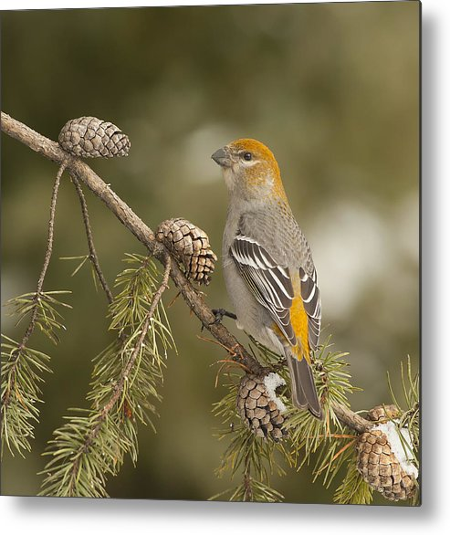 Vertical Metal Print featuring the photograph Female Pine Grosbeak by Photographs By Les Piccolo