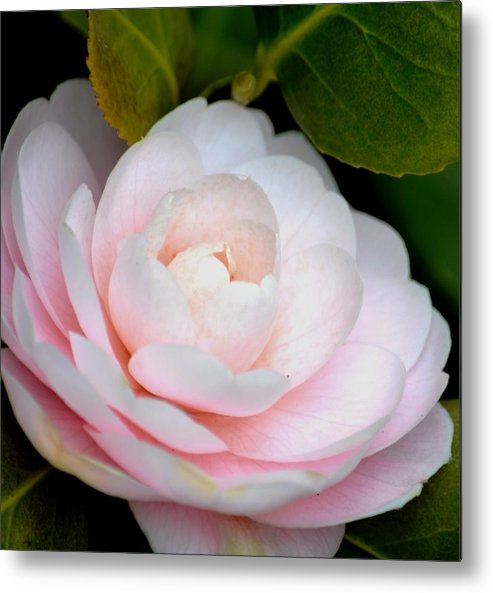 Pink Metal Print featuring the photograph Pink Camellia Flower by P S