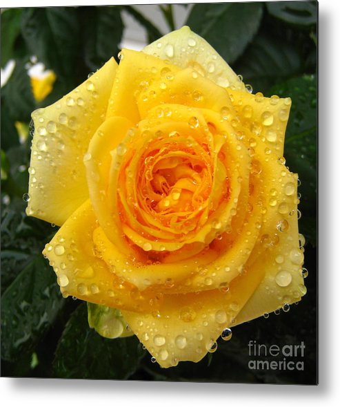 Rose Metal Print featuring the photograph Yellow Rose With Water Droplets by Maria Malevannaya