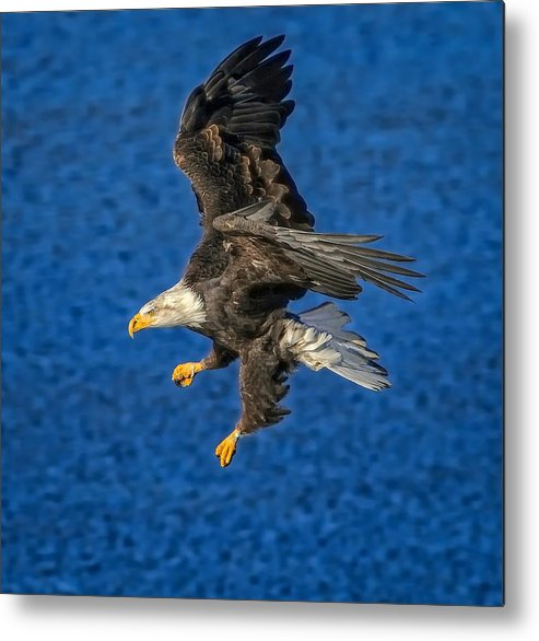 Bald Eagle Metal Print featuring the photograph Aquila by Philip Kuntz