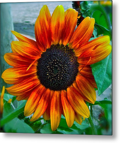 Sunflower Metal Print featuring the photograph Autumn Blessing by Gwyn Newcombe