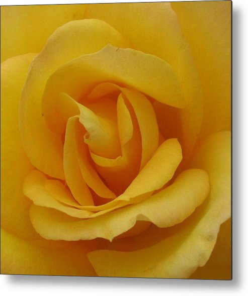 Rosr Metal Print featuring the photograph Layers Of Petals by Kathy Roncarati