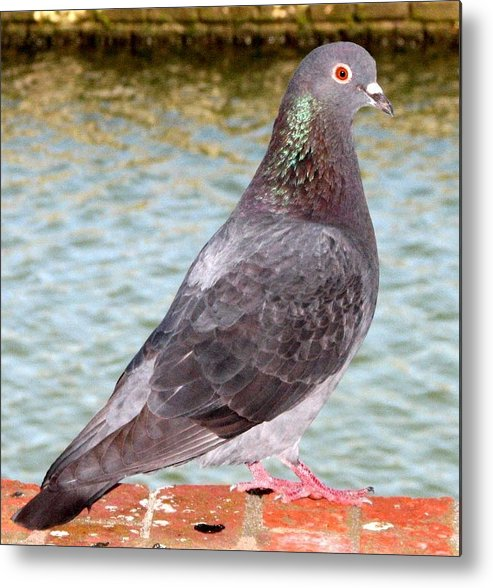 Pigeon Metal Print featuring the photograph Pigeon by J M Farris Photography