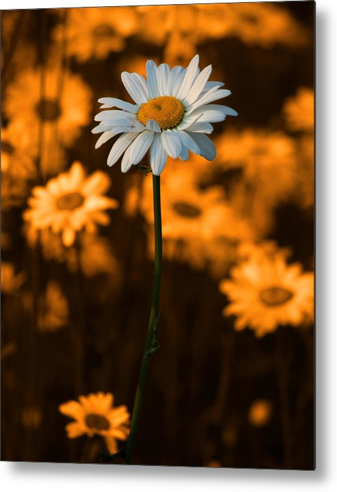 Daisy Metal Print featuring the photograph Standing Alone by Linda McRae