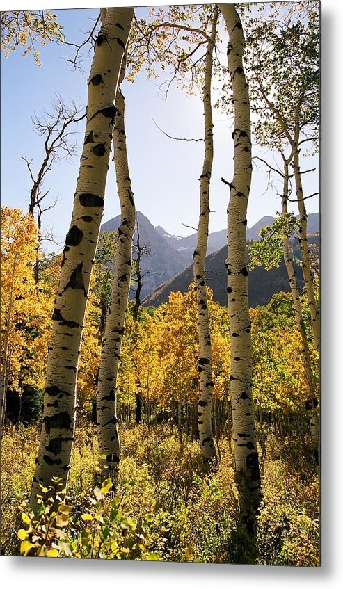 Trees Metal Print featuring the photograph 4 Aspens by Caroline Clark