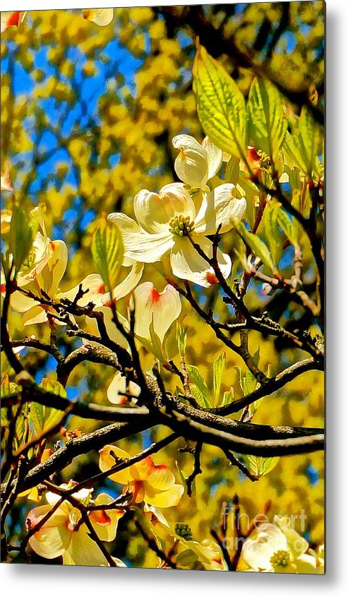 Cherry Blossom Metal Print featuring the photograph Cherry Blossom by Ivana Kovacic