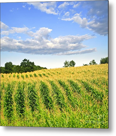 Agriculture Metal Print featuring the photograph Corn Field by Elena Elisseeva
