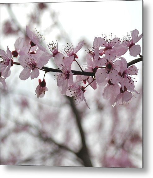 Pink Metal Print featuring the photograph Delicate Spring by P S