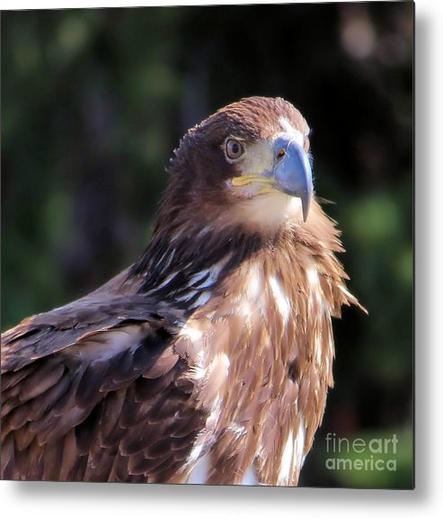 Bald Eagle Metal Print featuring the photograph Juvenile Bald Eagle by Kathy Kavanagh
