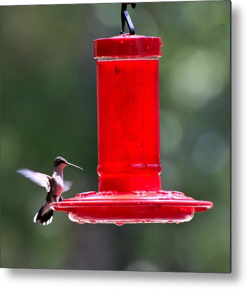 Bird Metal Print featuring the photograph Hummingbirds 388 by Lawrence Hess