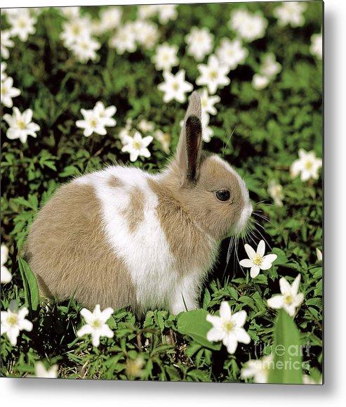 Rabbit Metal Print featuring the photograph Pet Rabbit by Hans Reinhard/Okapia