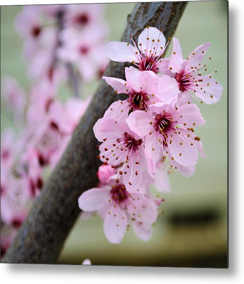 Pink Metal Print featuring the photograph Pink Flowers On A Flowering Tree by P S