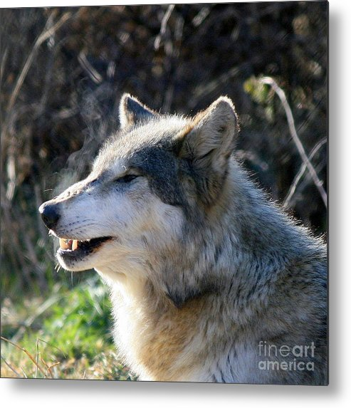 Wolf Metal Print featuring the photograph Winter Breathing by Neal Eslinger