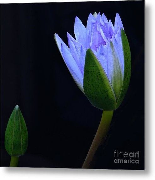 Tropical Water Lily Metal Print featuring the photograph Lavender Delight by Byron Varvarigos