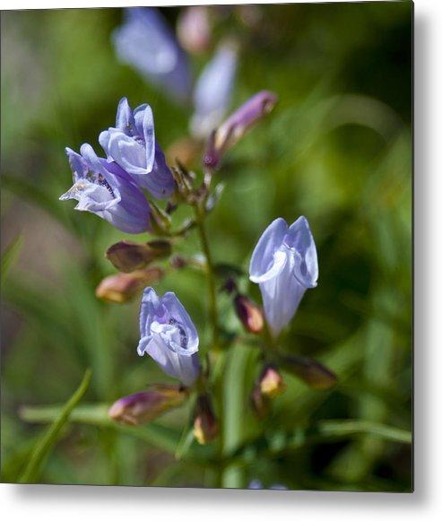 Light Purple Wild Penstemons Metal Print featuring the photograph Light Purple Wild Penstemons by Paul Cannon