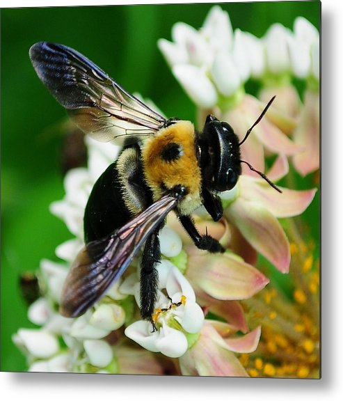 Bee Metal Print featuring the photograph Never Done by Dave Hrusecky