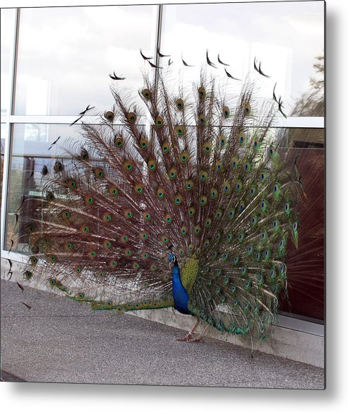 Point Defiance Metal Print featuring the photograph Peacock - 0012 by S and S Photo