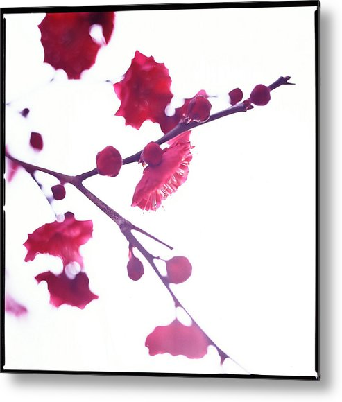 Vertical Metal Print featuring the photograph Ume Blossom Under The Sun by Moaan