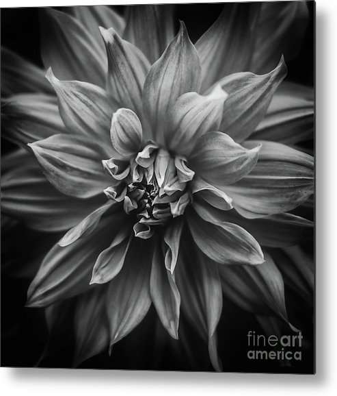Close-up Metal Print featuring the photograph Dhalia by Shaun Wilkinson