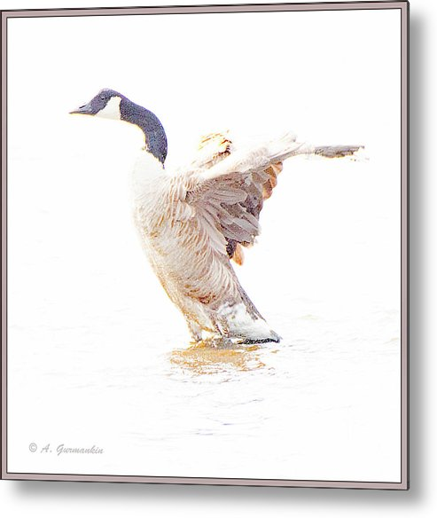 Canada Goose Metal Print featuring the digital art Canada Goose Flaps Wins by A Gurmankin