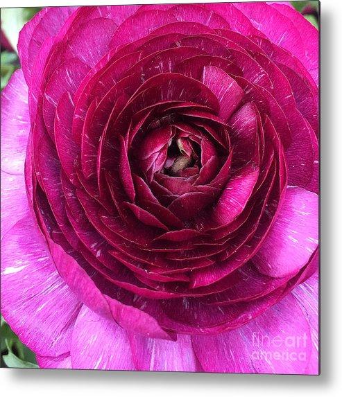Fuschia Metal Print featuring the photograph Fuschia Ranunculus by Pruddygurl Exclusives